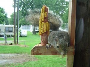 Click image for larger version  Name:Springwood Squirrel - 02.jpg Views:17 Size:202.7 KB ID:26715