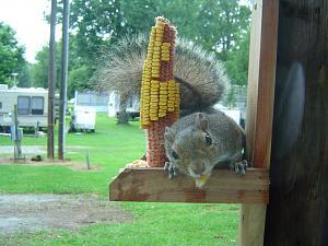 Click image for larger version  Name:Springwood Squirrel - 03.jpg Views:17 Size:222.6 KB ID:26716