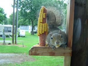 Click image for larger version  Name:Springwood Squirrel - 04.jpg Views:16 Size:215.9 KB ID:26717
