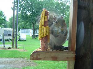 Click image for larger version  Name:Springwood Squirrel - 05.jpg Views:17 Size:232.0 KB ID:26718